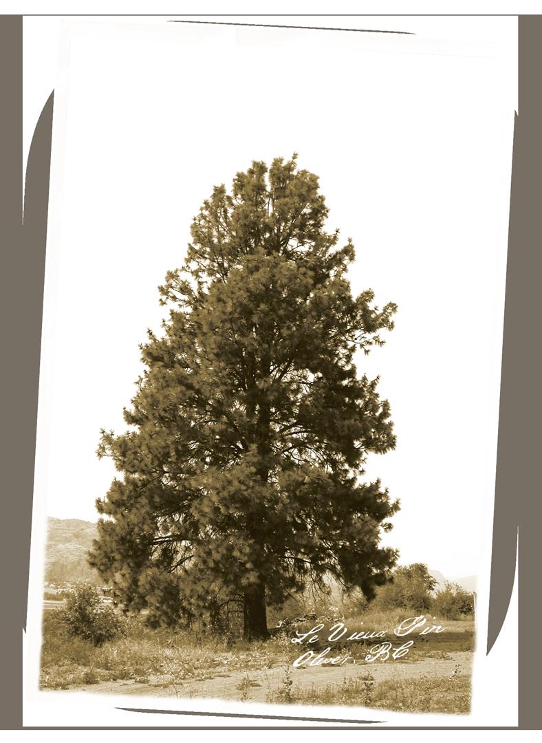 Brandolier Le Vieux Pin Vineyard Postcard Tree